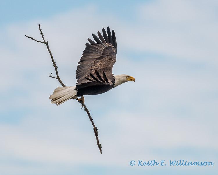Bald Eagle, Fir Island - 2