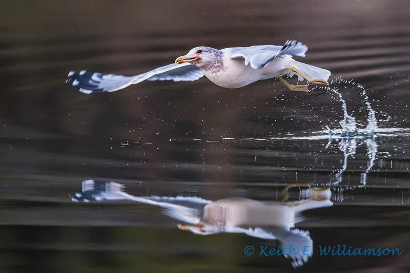 Gull take-off 4, Cranberry Lake
