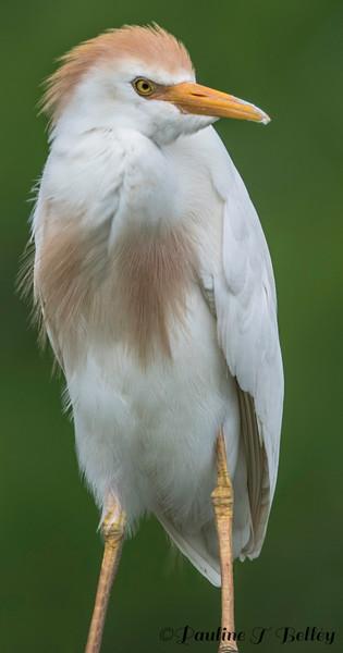 DSC_0989 Egret