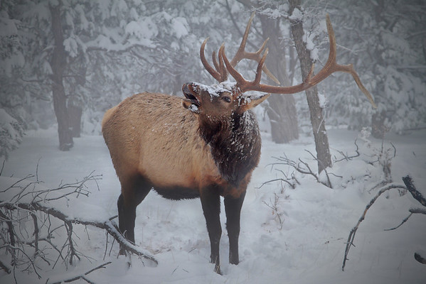 Bull Elk - Grand Canyon - Arizona
