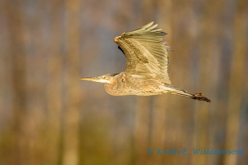 Great Blue Heron, bathed in golden sunset light