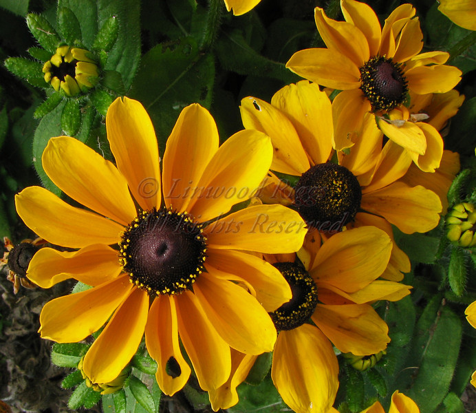 Brown Eyed Susans.