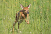 Jumping fawn