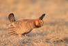 Prairie Chicken display