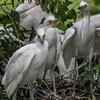DSC_0899 Egrets