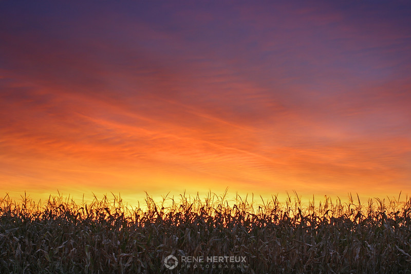 Corn sunrise, Shakopee MN