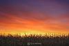 Corn sunrise, Shakopee MN