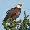 Bald eagle, Samish Flats, Washington