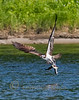 An Osprey carrying THREE fish it plucked from the Kennebec River in Augusta, Maine.  June 2010.