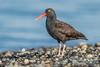 Black Oystercatcher, Ala Spit, Whidbey Island