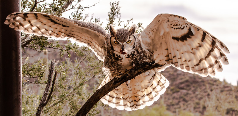 Great Horned Owl with mouse