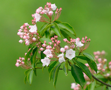 Mountain Laurel, Neuse Greenway Trail, Raleigh, NC, May 2013