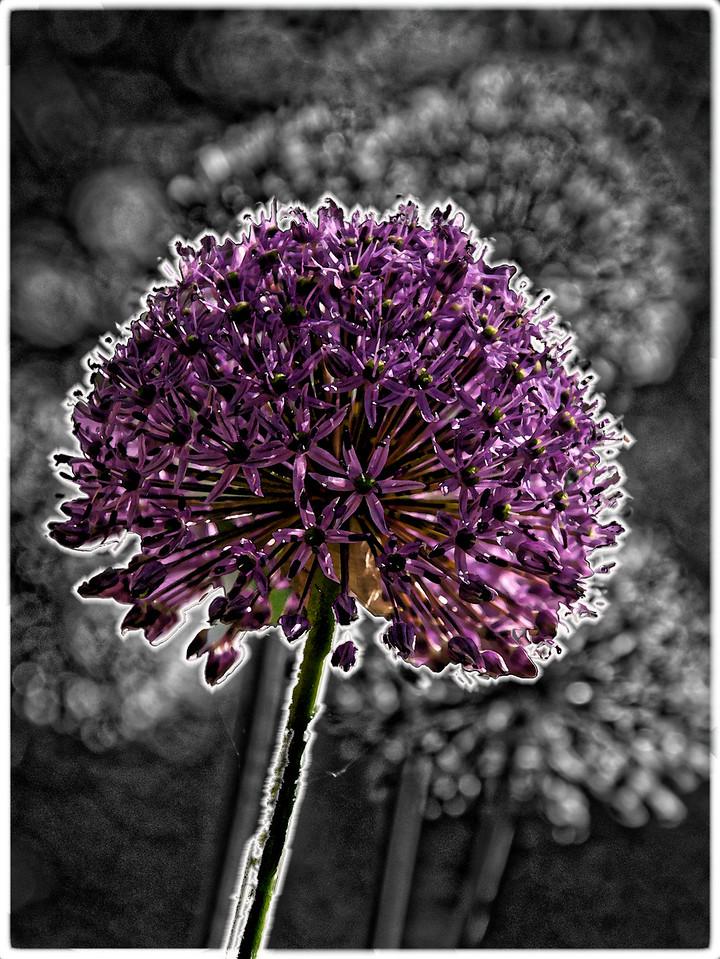 Allium B&W