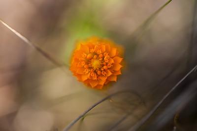 Orange Milkwort (Polygala lutea [Polygalaceae]), St. Joseph Bay State Buffer Preserve, Florida