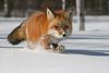 Red fox, MN