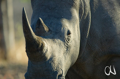 Breitmaulnashorn im Abendlicht, White Rhino, Ceratotherium simum, Krüger National Park, South Africa, Südafrika