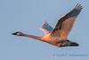 Trumpeter Swan - 27
