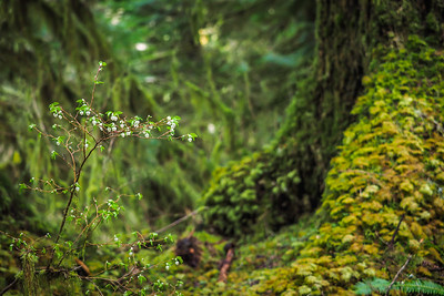 Salal in the Forest