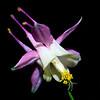 Link Trail Columbine (Aquilegia flavescens var. rubicunda), Emery County, Utah