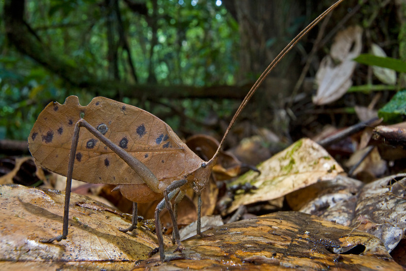 Peacock katydid (Pterochroza ocellata) has an extra trick up its sleeve - even if a predator sees through its perfect, leaf-like camouflage, the katydid can open its wings and flash a pair of big, fake eyes, a behavior that is almost guaranteed to scare an inexperienced bird or lizard.