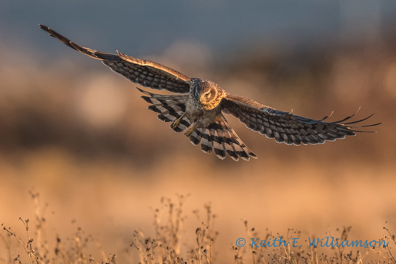 Northern Harrier - 8