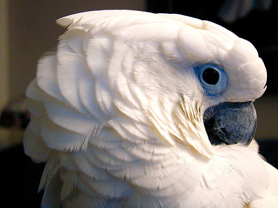 Sparky (umbrella cockatoo)
