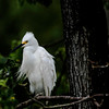 DSC_0001 Cattle Egrets Post