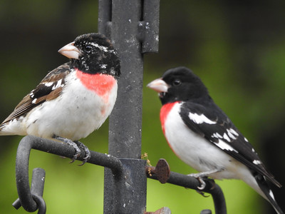 Rose-breasted Grosbeaks (Juvenile and Adult Male)