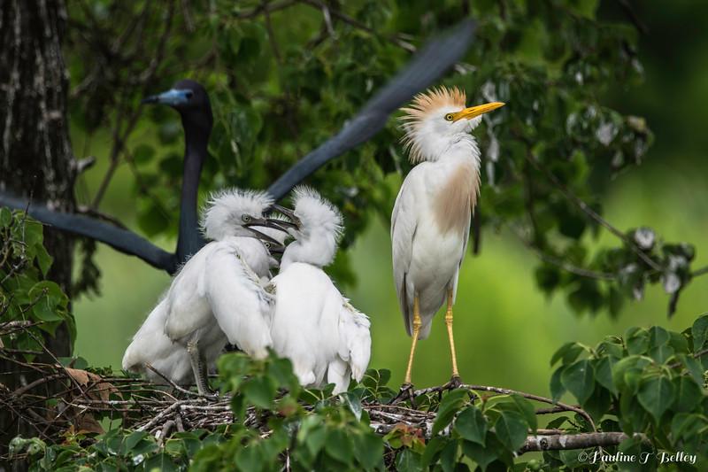 DSC_0041 Egret
