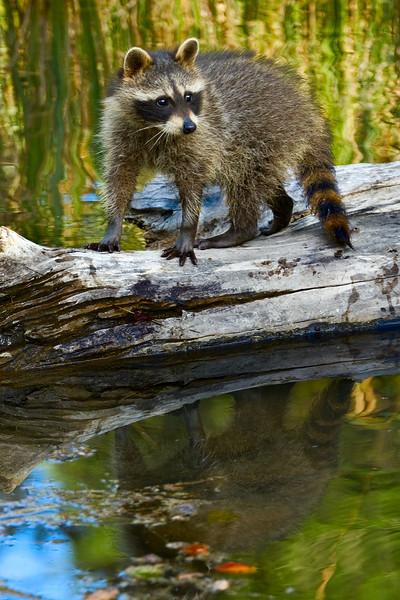 A raccoon ventures out onto a log in the water