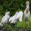 DSC_0027 Egret