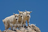 Three mountain goat  kids on rock