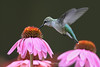 Hummingbird on coneflower