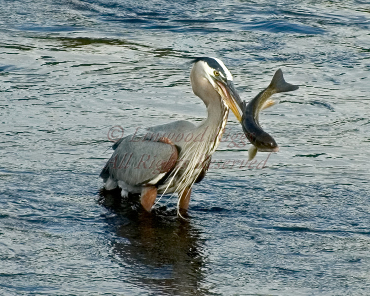 A Great Blue Heron spears a fish in the Kennebec River, Augusta, Maine