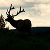 Elk Silhouette Yellowstone