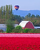 A balloon hangs over fields of tulps