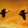 Sandhill Cranes at Bosque del Apache, Socorro, NM, at sunset; #0216F