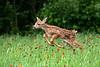 Running fawn