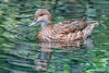 Female Pintail, Woodland Park Zoo
