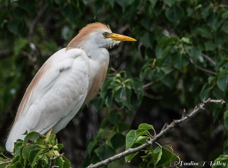 DSC_0980 Egret