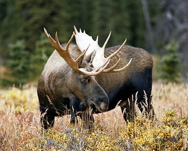 Bull Moose in Autumn