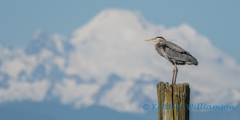 Great Blue Heron, with Mount Baker in the distance