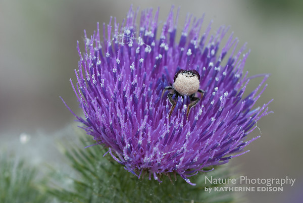 """""""Bottom's Up!"""" Beetle in the Bull Thistle"""