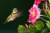 Ruby throated hummingbird (female)