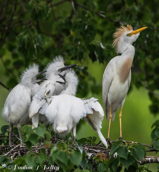 DSC_0050 Egrets
