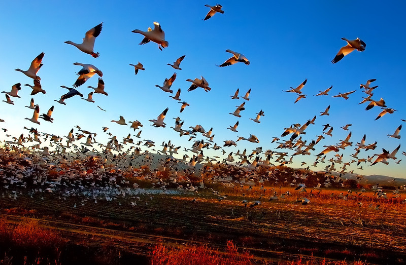 Fright Flight of the Snow Geese