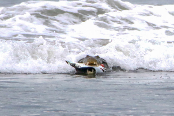 Crocodile eating a Stingray -Graphic Image