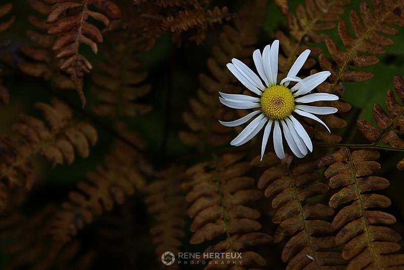 Daisy growing through dead ferns, northern MN