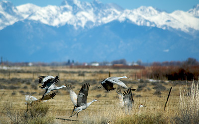 Sandhill Cranes in Alamosa, CO