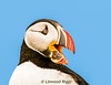 Portrait of a Puffin, taken on Machias Seal Island, NB.